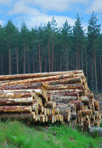 freshly cut trees stacked