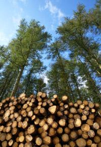 freshly felled trees stacked in pile