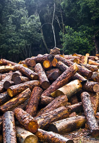 freshly cut logs in forest